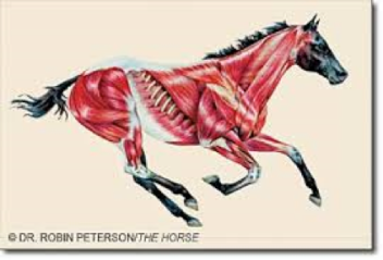 Muscles-Horse-fourways-equine-vet-horse-care-specialist-clinic
